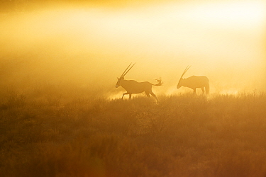 Oryx (Oryx gazella) pair running, Kgalagadi Transfrontier Park, South Africa