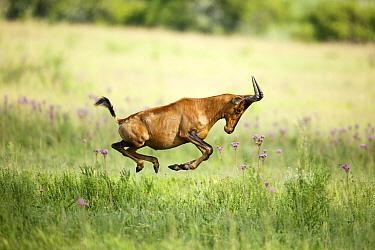 Common Hartebeest (Alcelaphus buselaphus) running, Rietvlei Nature Reserve, South Africa