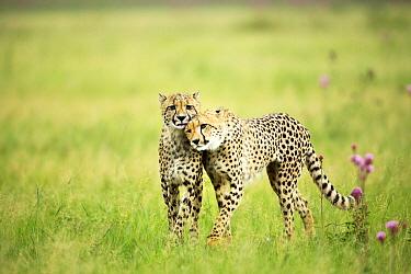 Cheetah (Acinonyx jubatus) mother nuzzling cub, Rietvlei Nature Reserve, South Africa