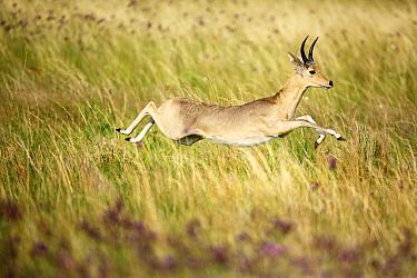 Southern Reedbuck (Redunca arundinum) male running, Rietvlei Nature Reserve, South Africa