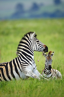Burchell's Zebra (Equus burchellii) mother and foal, Rietvlei Nature Reserve, South Africa