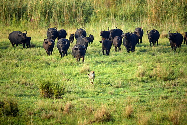 Cape Buffalo (Syncerus caffer) herd chasing away Cheetah (Acinonyx jubatus), Rietvlei Nature Reserve, South Africa
