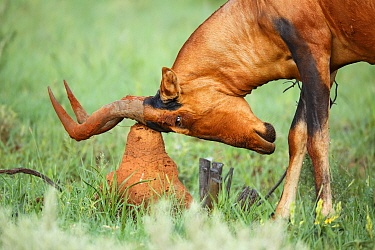 Common Hartebeest (Alcelaphus buselaphus) scratching head on termite mound, Rietvlei Nature Reserve, South Africa