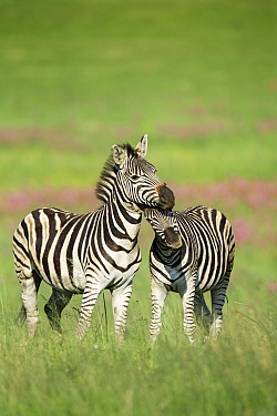 Burchell's Zebra (Equus burchellii) females nuzzling, Rietvlei Nature Reserve, South Africa