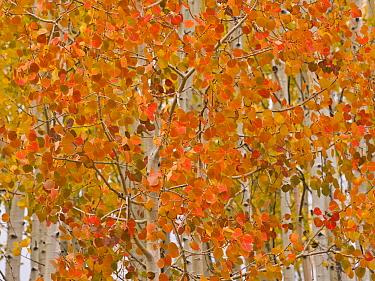 Quaking Aspen (Populus tremuloides) trees in autumn, Boulder Mountains, Utah