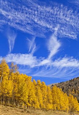 Quaking Aspen (Populus tremuloides) trees in autumn, San Juan National Forest, Rocky Mountains, Colorado