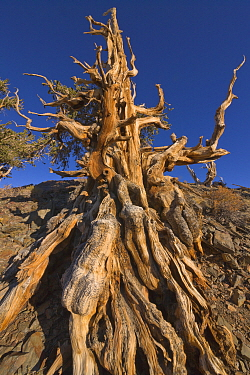 Great Basin Bristlecone Pine (Pinus longaeva) tree, White Mountains, California