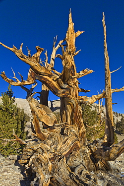 Great Basin Bristlecone Pine (Pinus longaeva) trees, White Mountains, California