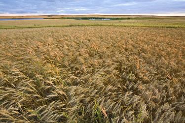 Wheat (Triticum sp) field, North Dakota