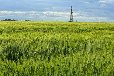 Barley (Hordeum sp) field, Williston Basin, North Dakota