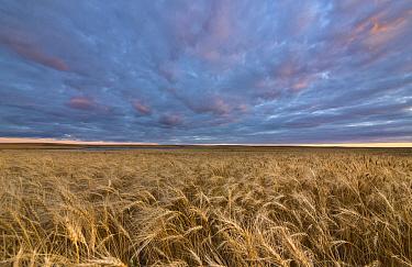 Wheat (Triticum sp) field at sunset, Williston Basin, North Dakota