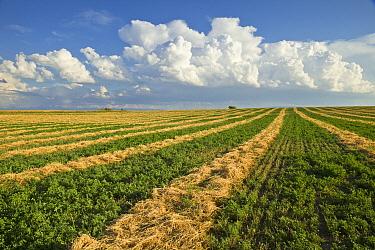 Alfalfa (Medicago sativa) field, Idaho