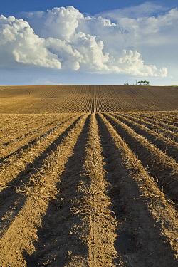 Potato (Solanum tuberosum) plowed fields, Idaho