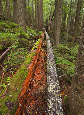 Fallen trees in old growth forest, Mount Rainier National Park, Washington