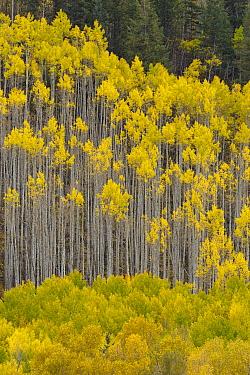 Quaking Aspen (Populus tremuloides) trees in autumn, Rocky Mountains, Colorado