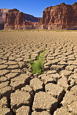 Tamarisk (Myricaria sp) growing in dry mud, Colorado River, Utah