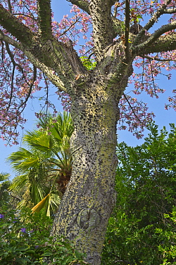 Silk Floss Tree (Ceiba speciosa) with sharp spines on trunk, California