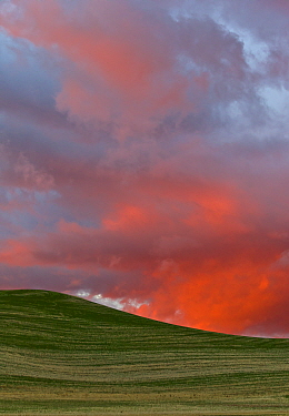 Wheat (Triticum sp) field at sunset, Palouse Hills, Washington