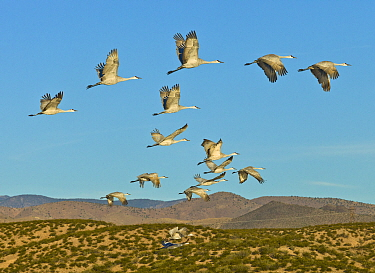 Sandhill Crane (Grus canadensis) flock flying, White Sands National Monument, New Mexico