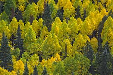 Quaking Aspen (Populus tremuloides) trees in autumn,, Rocky Mountains, Colorado