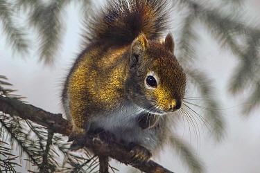 Red Squirrel (Tamiasciurus hudsonicus), Minnesota