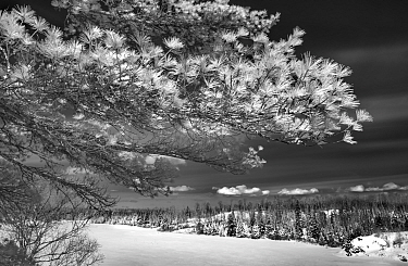 White Pine (Pinus strobus) tree and snowy landscape, spring, Minnesota