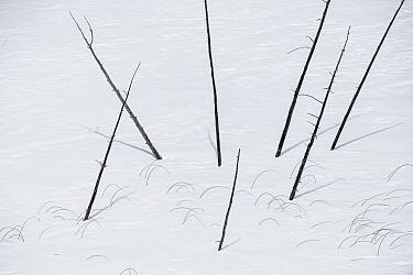 Dead tree trunks in winter, Minnesota
