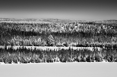 Boreal forest in winter, Minnesota