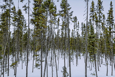 Black Spruce (Picea mariana) forest and melting spring snow, Minnesota