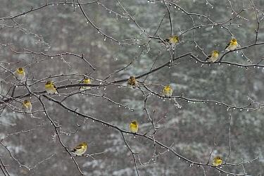 American Goldfinch (Carduelis tristis) and Pine Siskin (Carduelis pinus) flock, Minnesota