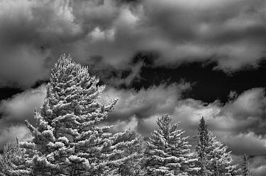 White Pine (Pinus strobus) trees and clouds, Minnesota