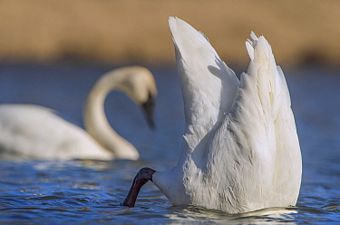 Trumpeter Swan (Cygnus buccinator) pair dabbling, Minnesota