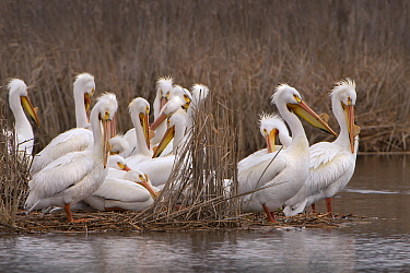 American White Pelican (Pelecanus erythrorhynchos) group preening, Minnesota