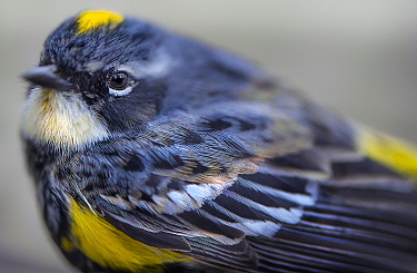 Yellow-rumped Warbler (Setophaga coronata), Minnesota