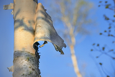 Birch (Betula sp) bark peeling off, Minnesota