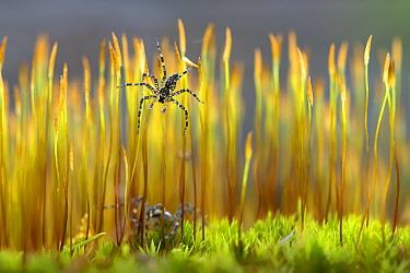 Fishing Spider (Pisauridae) pair on moss, Minnesota