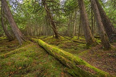 Northern White Cedar (Thuja occidentalis) forest, Superior National Forest, Minnesota