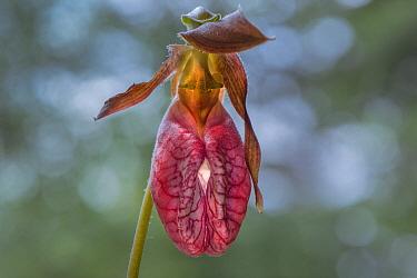 Stemless Lady's Slipper (Cypripedium acaule) flower, Minnesota