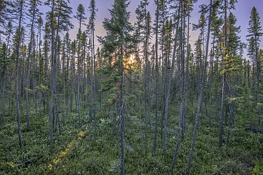 Black Spruce (Picea mariana) forest, Minnesota