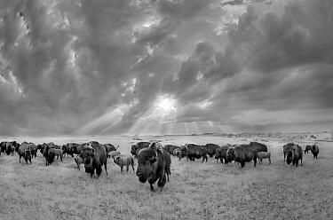 American Bison (Bison bison) herd in grassland, Blue Mounds State Park, Minnesota
