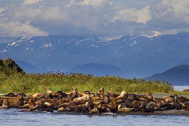 Steller's Sea Lion (Eumetopias jubatus) group on beach, Lincoln Island, Juneau, Alaska