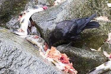 American Crow (Corvus brachyrhynchos) feeding on salmon scraps, Anan Creek, Tongass National Forest, Alaska