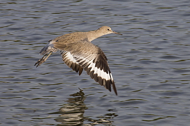 Willet (Tringa semipalmata) flying, Fraser River, British Columbia, Canada