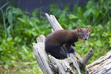 Pine Marten (Martes martes), native to Europe