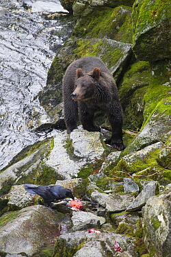Grizzly Bear (Ursus arctos horribilis) and Common Raven (Corvus corax) along salmon stream in temperate rainforest, Anan Creek, Tongass National Forest, Alaska