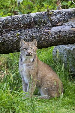 Canada Lynx (Lynx canadensis), Haines, Alaska