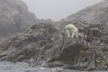 Polar Bear (Ursus maritimus) female on coast, Lady Franklin Island, Nunavut, Canada