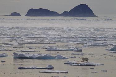 Polar Bear (Ursus maritimus) male with seal prey on ice floe, Baffin Island, Nunavut, Canada
