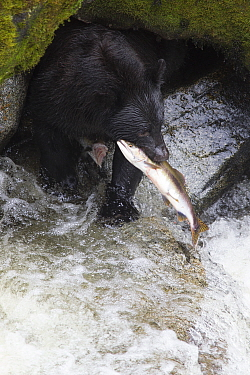 Black Bear (Ursus americanus) with Pink Salmon (Oncorhynchus gorbuscha) prey, Anan Creek, Tongass National Forest, Alaska