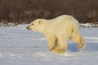 Polar Bear (Ursus maritimus) yearling cub running, Hudson Bay, Manitoba, Canada